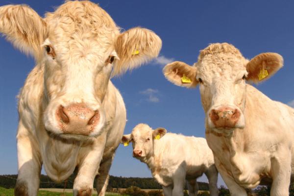 field-meadow-cattle-pasture-grazing-mammal-676673-pxhere