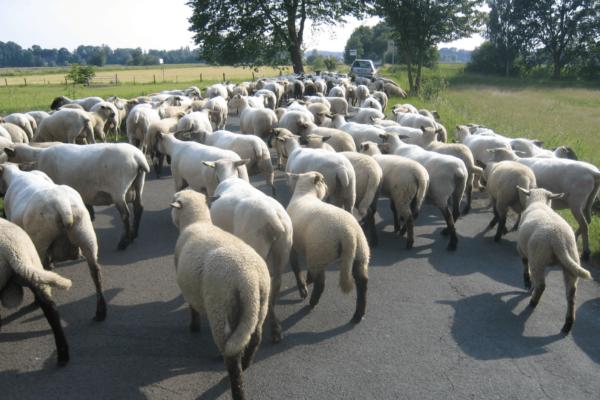 schapenopdeweg